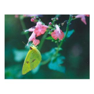 Schwefel auf Salvia Postkarte