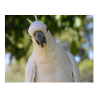Schwefel Cockatoo mit Haube Kakadu Postkarte