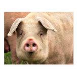 Schwein gehabt postkarten