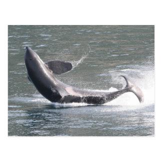 Schwertwal, der in Alaska durchbricht Postkarte