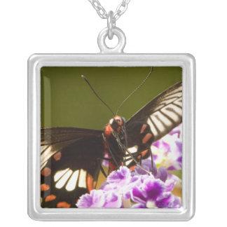 Se Asien, Thailand, Doi Inthanon, Papilio polytes Versilberte Kette