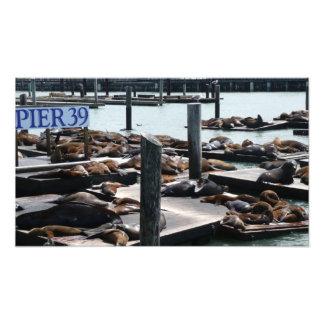 Seelöwen des Pier-39 in San Francisco Fotodruck