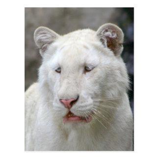 Seltene weiße Tiger-Postkarte Postkarte