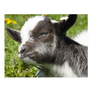 Seltene Zucht Baby Bagot Ziegen-| Postkarte