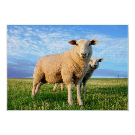 Sheeps on land poster