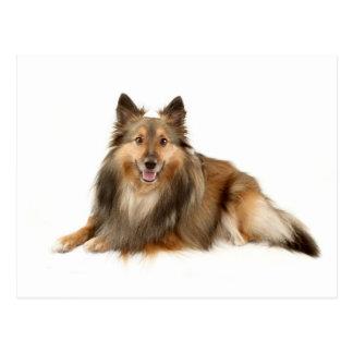 Sheltie oder die Shetlandinseln-Schäferhund Postkarte