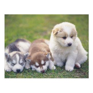 Sibirischer Husky; Eine Funktionshundezucht das- Postkarte