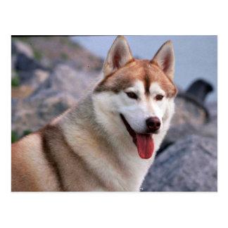 Sibirischer Husky Postkarte