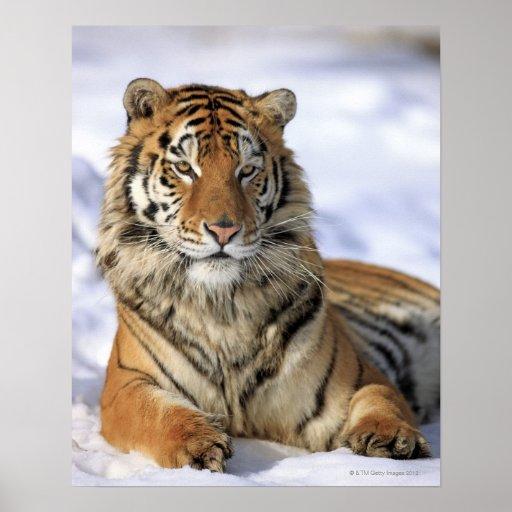 Sibirischer Tiger, der Pantheratigris altaica, Asi Plakate