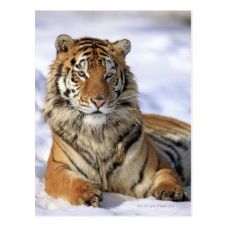 Sibirischer Tiger, der Pantheratigris altaica, Postkarte
