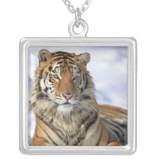 Sibirischer Tiger, der Pantheratigris altaica, Versilberte Kette