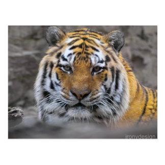 Sibirischer Tiger-Fotografie Postkarte