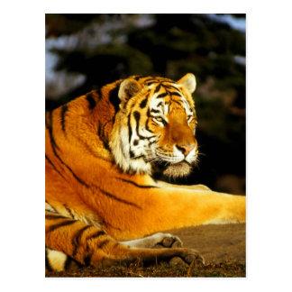 Sibirischer Tiger im Abend Postkarte