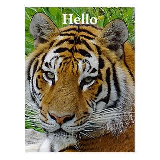 Sibirischer Tiger-Nahaufnahme-Foto des Gesichtes Postkarte