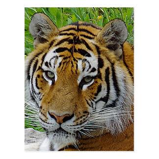 Sibirischer Tiger-Nahaufnahme-Foto des Gesichtes Postkarten