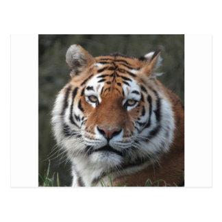 Sibirischer Tiger-Porträt Postkarte