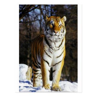 Sibirischer Tiger Postkarten