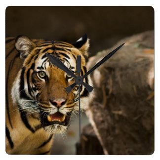 Sibirischer Tiger-Starren Quadratische Wanduhr