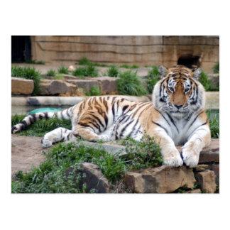 sibirischer Tiger two4x6 Postkarte