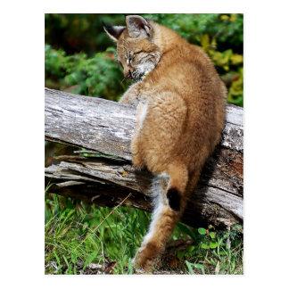 Sibirisches Luchs-Kätzchen - es ist!!! so hoch! Postkarte