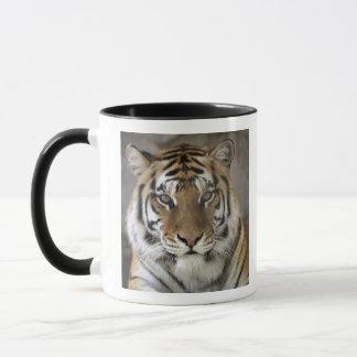 sichernder Tiger, Folsom Stadt-Zoo-Schongebiet, Tasse