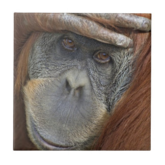 Sichernder weiblicher Sumatran Orang-Utan Keramikfliese
