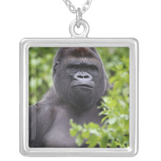 Silverback-Tiefland-Gorilla, Gorillagorilla, Versilberte Kette