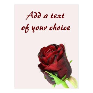 Single-Rote Rose auf einem hellrosa Hintergrund Postkarte