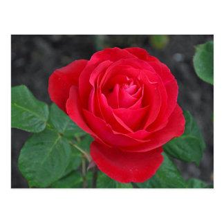 Single-Rote Rose Postkarte