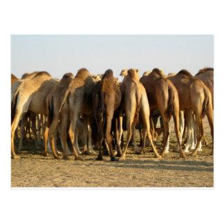 Sitzung der Kamele Postkarte
