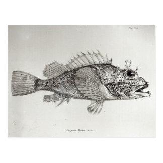 Skorpions-Fische Postkarte