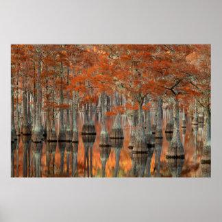 Smith-Staats-Park Zypresse-Baum-| George, Georgia Poster