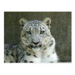 SnowLeopardM002 Postkarte