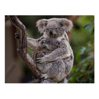 Snuggling Koala-Bären Postkarte