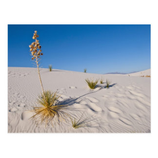 Soaptree Yucca, langer Schatten, Querdünen Postkarte