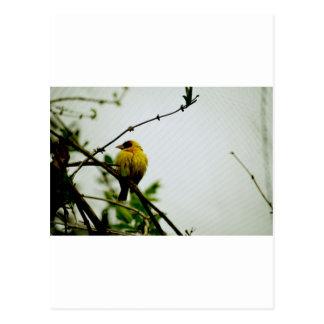 Solo- gelber Vogel auf Niederlassung Postkarte