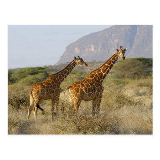 Somalische Giraffe, retikulierte Giraffe, Giraffa Postkarte