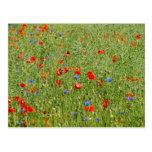 Sommerfeld MIT roten und blauen Blumen Postkarte