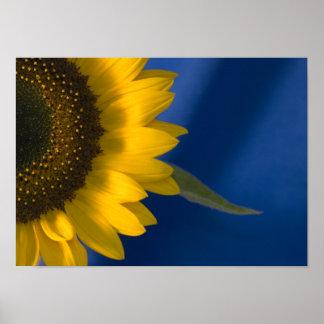 Sonnenblume auf Blau Poster