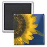 Sonnenblume auf blauem Magneten Magnete