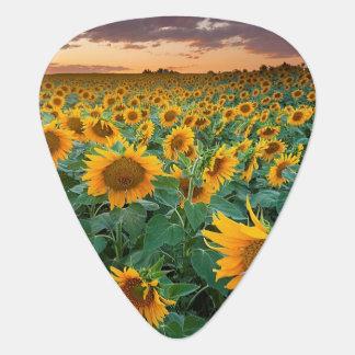 Sonnenblume-Feld in Longmont, Colorado Plektron