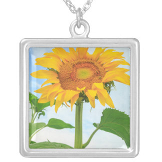 Sonnenblume, Gemeinschaftsgarten, Moses See, WA, Versilberte Kette