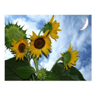 Sonnenblume in voller Blüte Postkarte