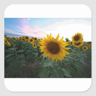 Sonnenblume-Nahaufnahme Quadratischer Aufkleber