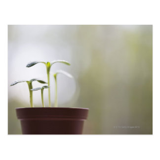 Sonnenblume-Pflanzen, die in Topf 2 keimen Postkarte