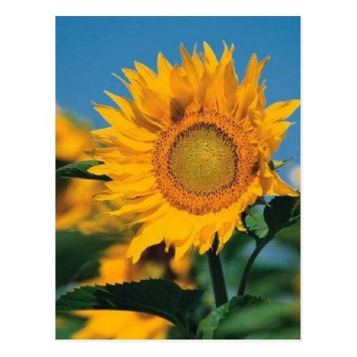 Sonnenblume Postkarte
