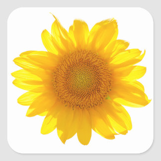Sonnenblume Quadratischer Aufkleber