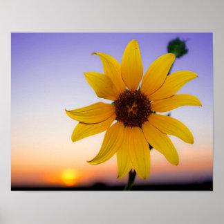 Sonnenblume-Sonnenuntergang Poster