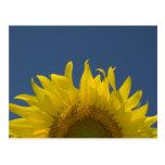 Sonnenblume-steigende Postkarte