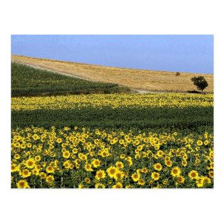Sonnenblumefelder, Toskana, Italien Postkarte